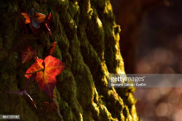 Close-Up Of Autumnal Leaves On Tree Trunk