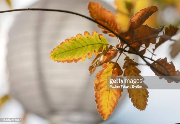 close-up of autumnal leaves - paulien tabak 個照片及圖片檔
