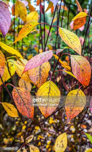 close-up of autumnal leaves - andy rinkoff stock pictures, royalty-free photos & images