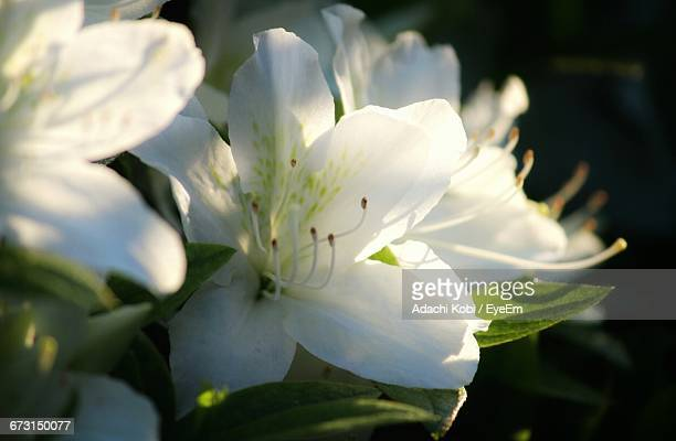 Close-Up Of Azalea Flowers Blooming At Park
