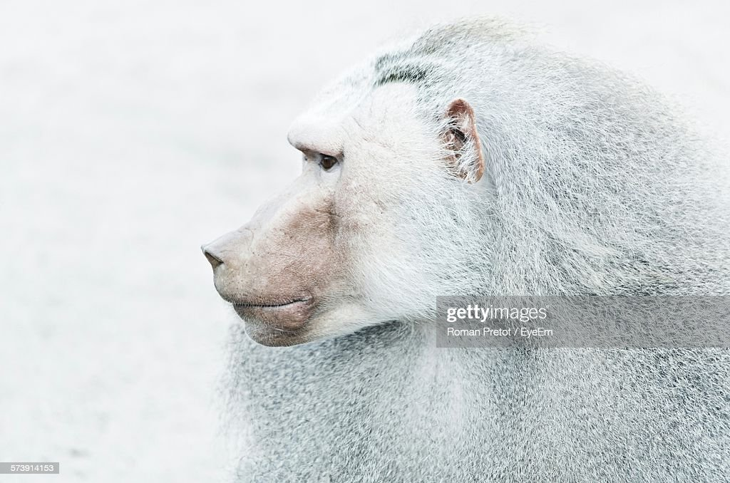 Close-Up Of Baboon Looking Away During Winter : ストックフォト