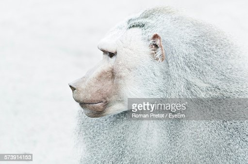 Close-Up Of Baboon Looking Away During Winter