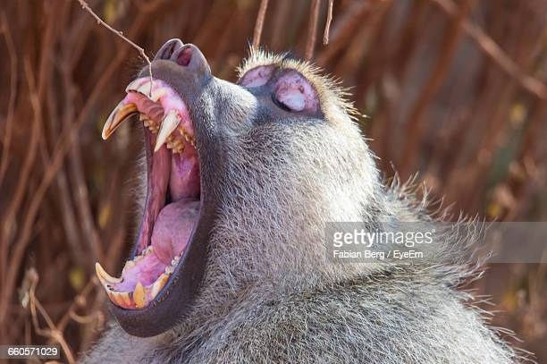 Close-Up Of Baboon With Mouth Open