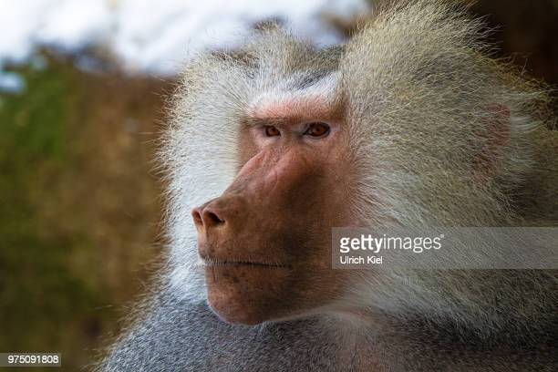 close-up of baboon's head - baboon stock pictures, royalty-free photos & images