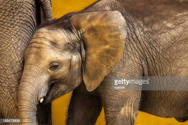 Closeup of Baby African Elephant Along Side Mother