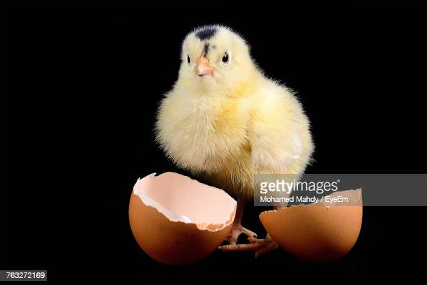 Close-Up Of Baby Chicken By Broken Eggshell Against Black Background