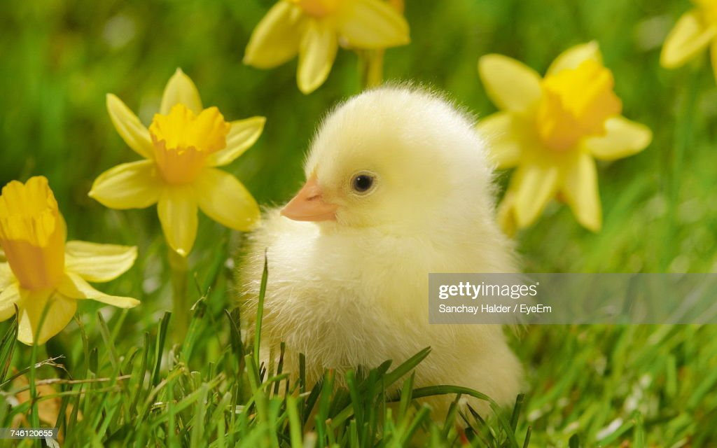 Close-Up Of Baby Chicken : Stock Photo