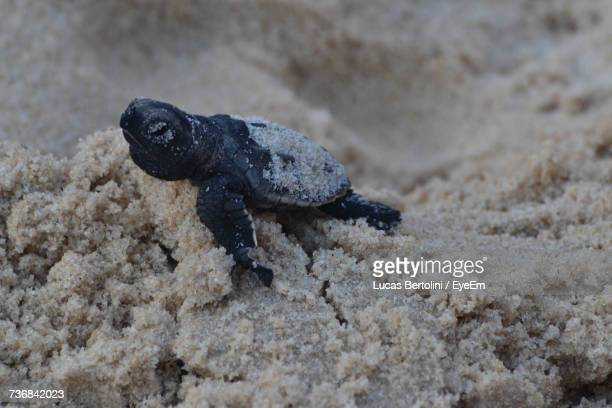 Close-Up Of Baby Turtle On Sand
