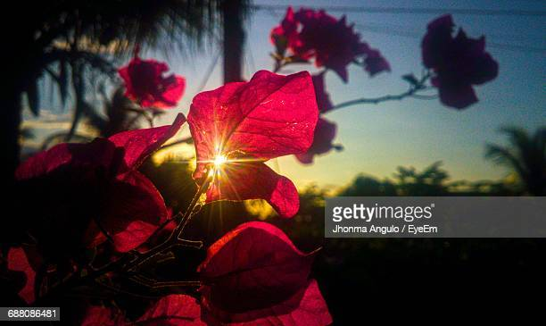 Close-Up Of Back Lit Plant Growing Outdoors During Sunset
