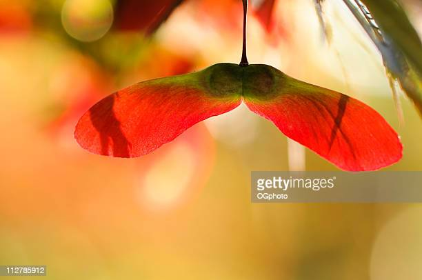 close-up of back-lit maple seeds - ogphoto stock pictures, royalty-free photos & images
