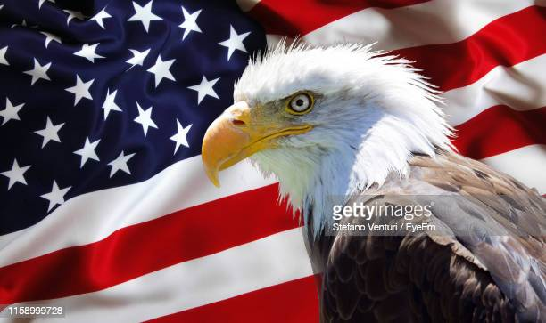 close-up of bald eagle against american flag - bald eagle with american flag stock pictures, royalty-free photos & images