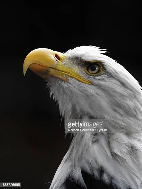 Close-Up Of Bald Eagle Against Black Background