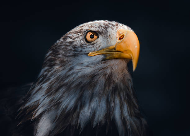 Close-up of bald eagle against black background,Santander,Cantabria,Spain