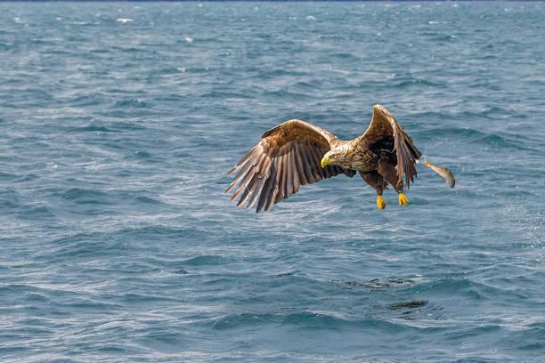 Close-up of bald eagle flying over sea,United Kingdom,UK