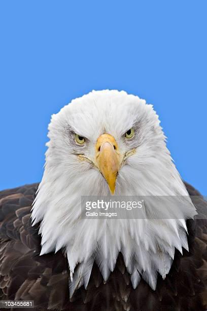Close-up of Bald Eagle (Haliaeetus leucocephalus), Homer, Alaska, USA