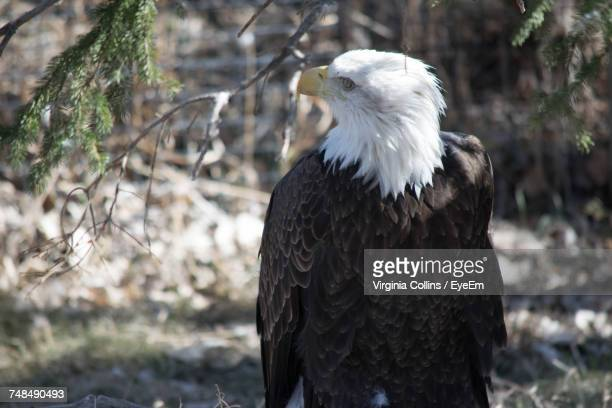 Close-Up Of Bald Eagle Perching On Field