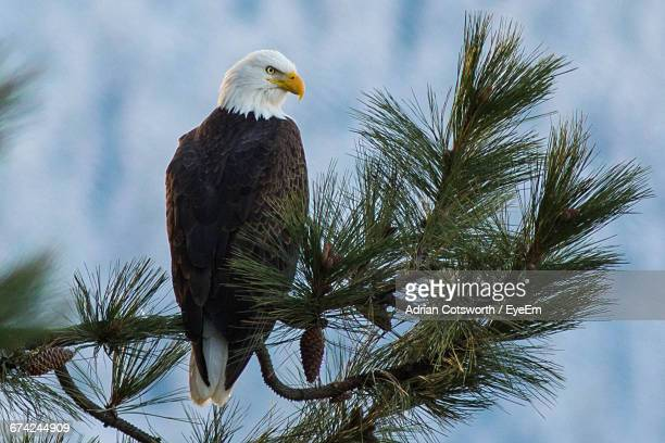Close-Up Of Bald Eagle Perching On Pine Tree