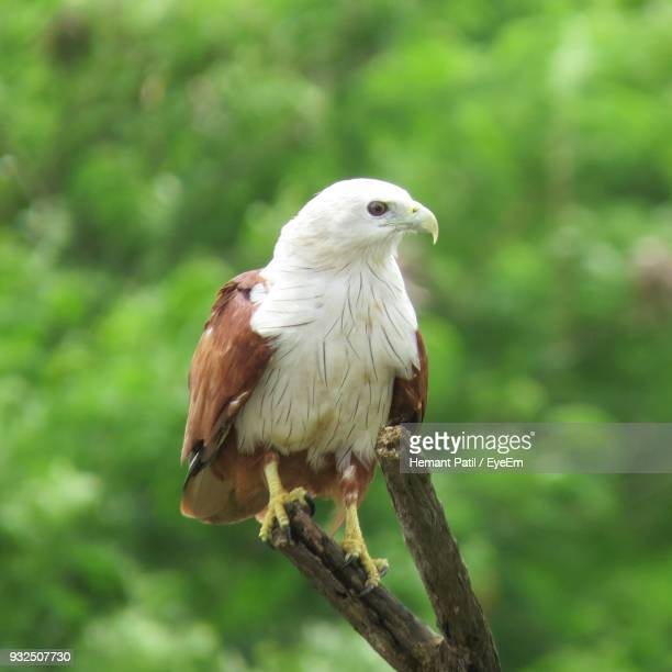 Close-Up Of Bald Eagle Perching On Tree