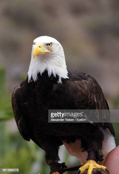 Close-Up Of Bald Eagle Perching Outdoors