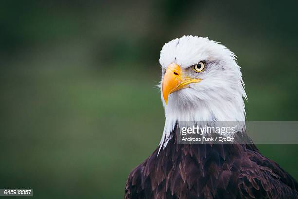 close-up of bald eagle - carnivora stock photos and pictures