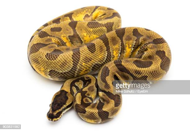 close-up of ball python against white background - burmese python stock pictures, royalty-free photos & images
