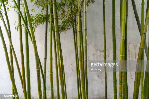 close-up of bamboo forest - 竹 ストックフォトと画像