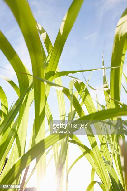 Close-Up of Bamboo Leaves