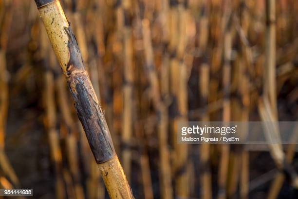 Close-Up Of Bamboo On Tree Trunk In Field