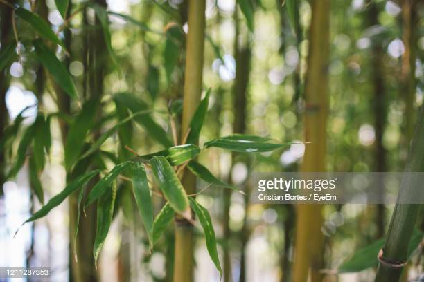 close-up of bamboo plant in forest - bortes stock pictures, royalty-free photos & images