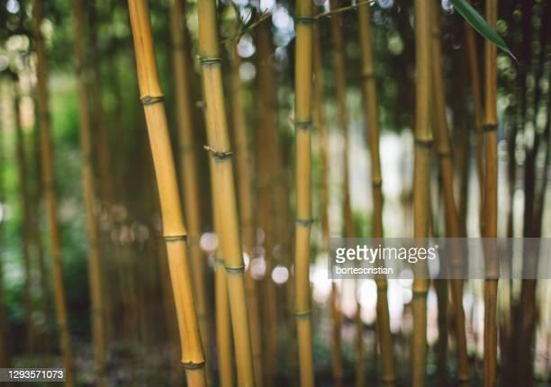 close-up of bamboo plants in forest - bortes imagens e fotografias de stock