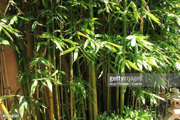 close-up of bamboo plants - bamboo plant stock photos and pictures