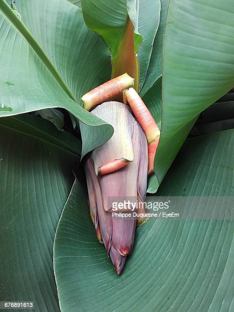 Close-Up Of Banana Flower Growing On Tree
