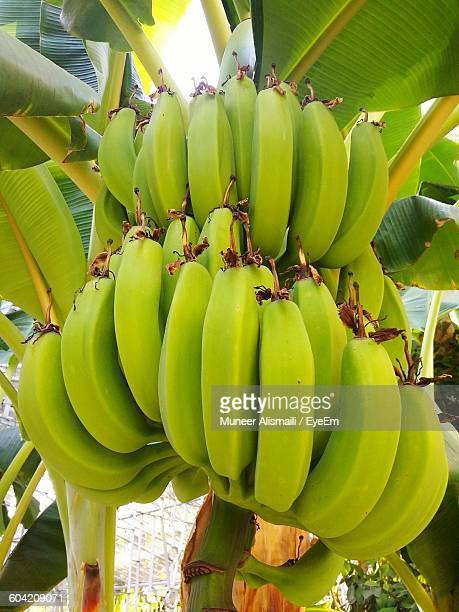 close-up of banana growing on tree - banana tree stock pictures, royalty-free photos & images