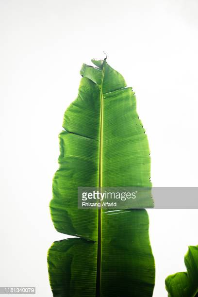 close-up of banana leaf - banana tree stock pictures, royalty-free photos & images