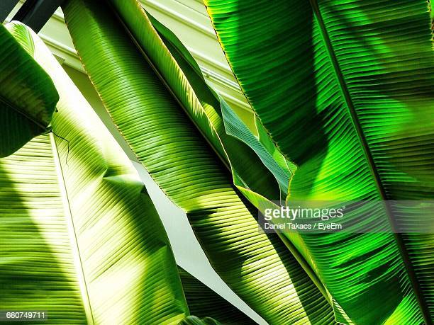 Close-Up Of Banana Leaves Growing Outdoors