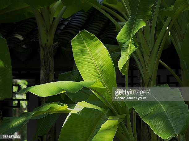 close-up of banana leaves - banana tree stock pictures, royalty-free photos & images