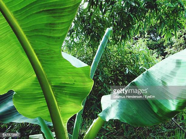 Close-Up Of Banana Tree Growing In Yard