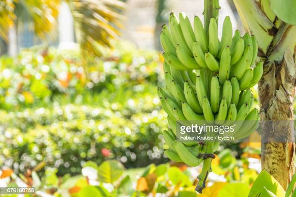close-up of bananas growing on tree - banana tree stock pictures, royalty-free photos & images