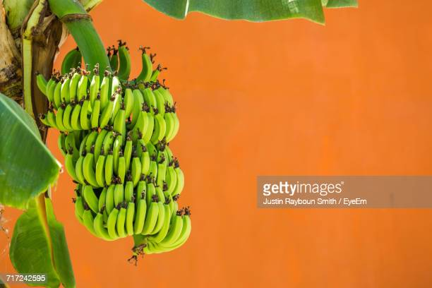 close-up of bananas hanging in tree - banana tree stock pictures, royalty-free photos & images