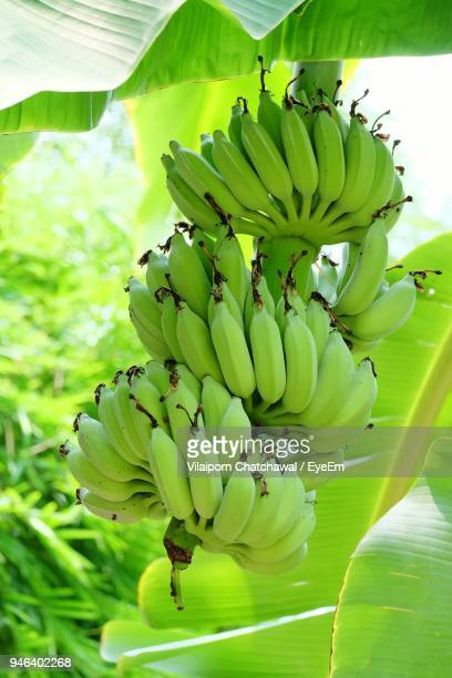 close-up of bananas hanging on tree - unripe stock photos and pictures