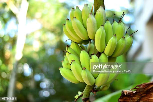 close-up of bananas - banana tree stock pictures, royalty-free photos & images