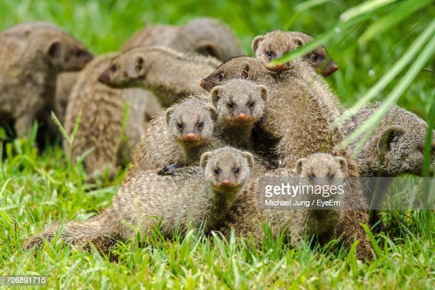 close-up of banded mongooses on grassy field - mongoose stock photos and pictures