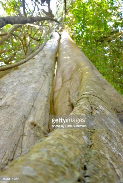 Close-Up of Banyan Tree