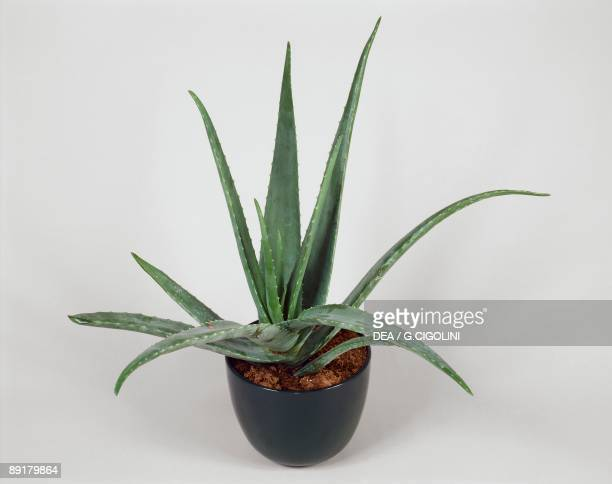 Closeup of Barbados aloe plant growing in a pot
