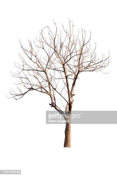 close-up of bare tree against isolated on white background. - kahler baum stock-fotos und bilder