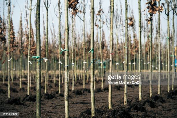 Close-Up Of Bare Trees At Plant Nursery