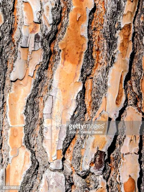 Close-Up of bark of a pine tree.