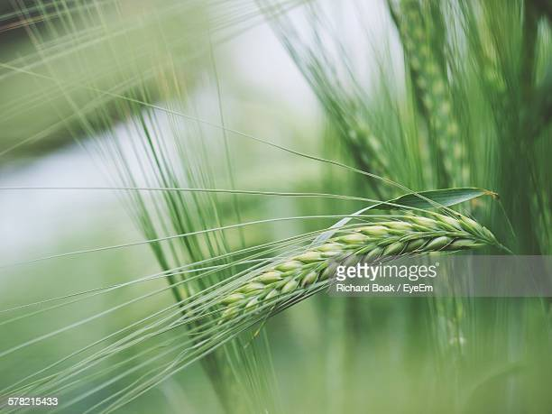 Close-Up Of Barley Plants Outdoors
