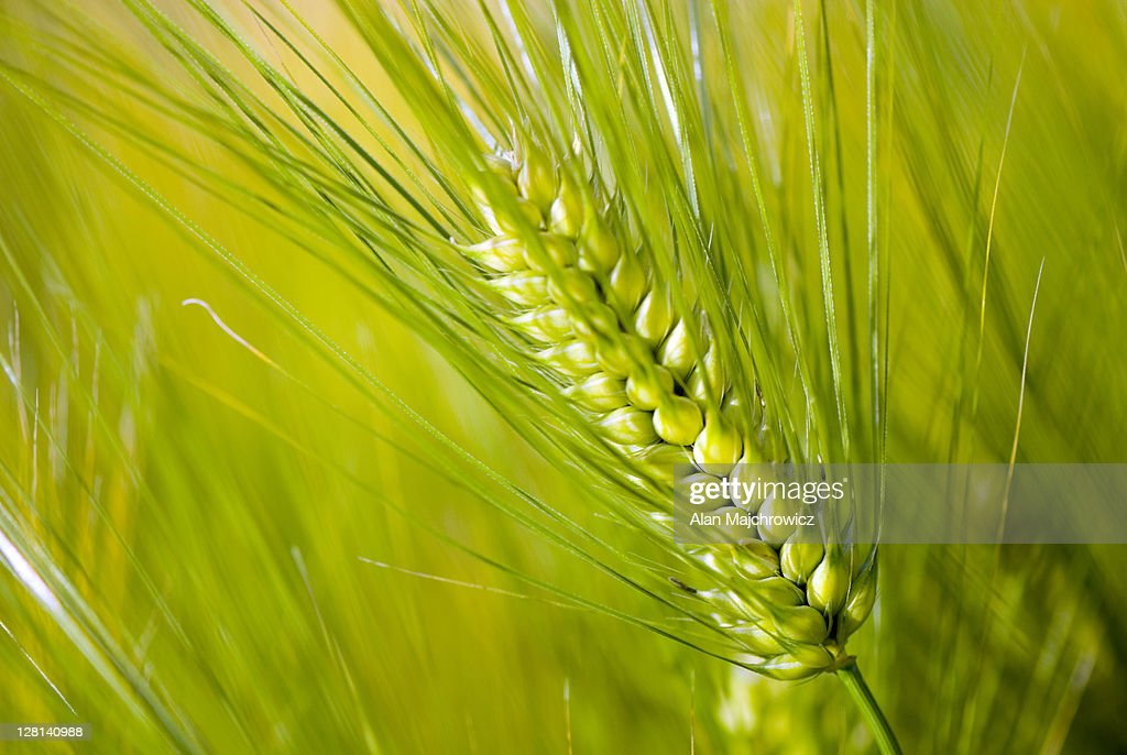 Closeup of Barley stalk, Hordeum vulgare : Stock Photo
