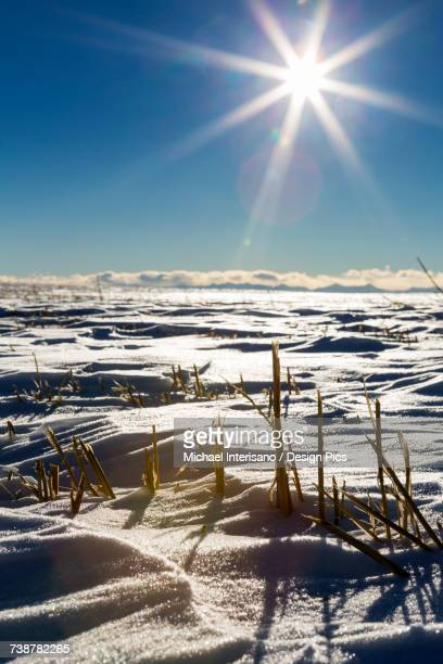 Close-up of barley stubble in a snow covered field with a sun burst and blue sky in the background